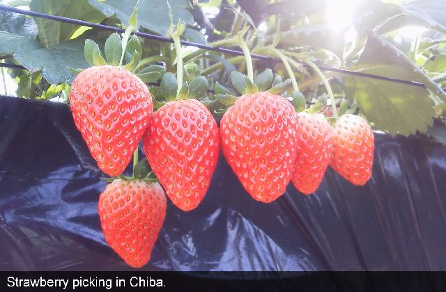 Strawberry picking in Chiba