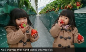 Kids enjoying their hand picked strawberries