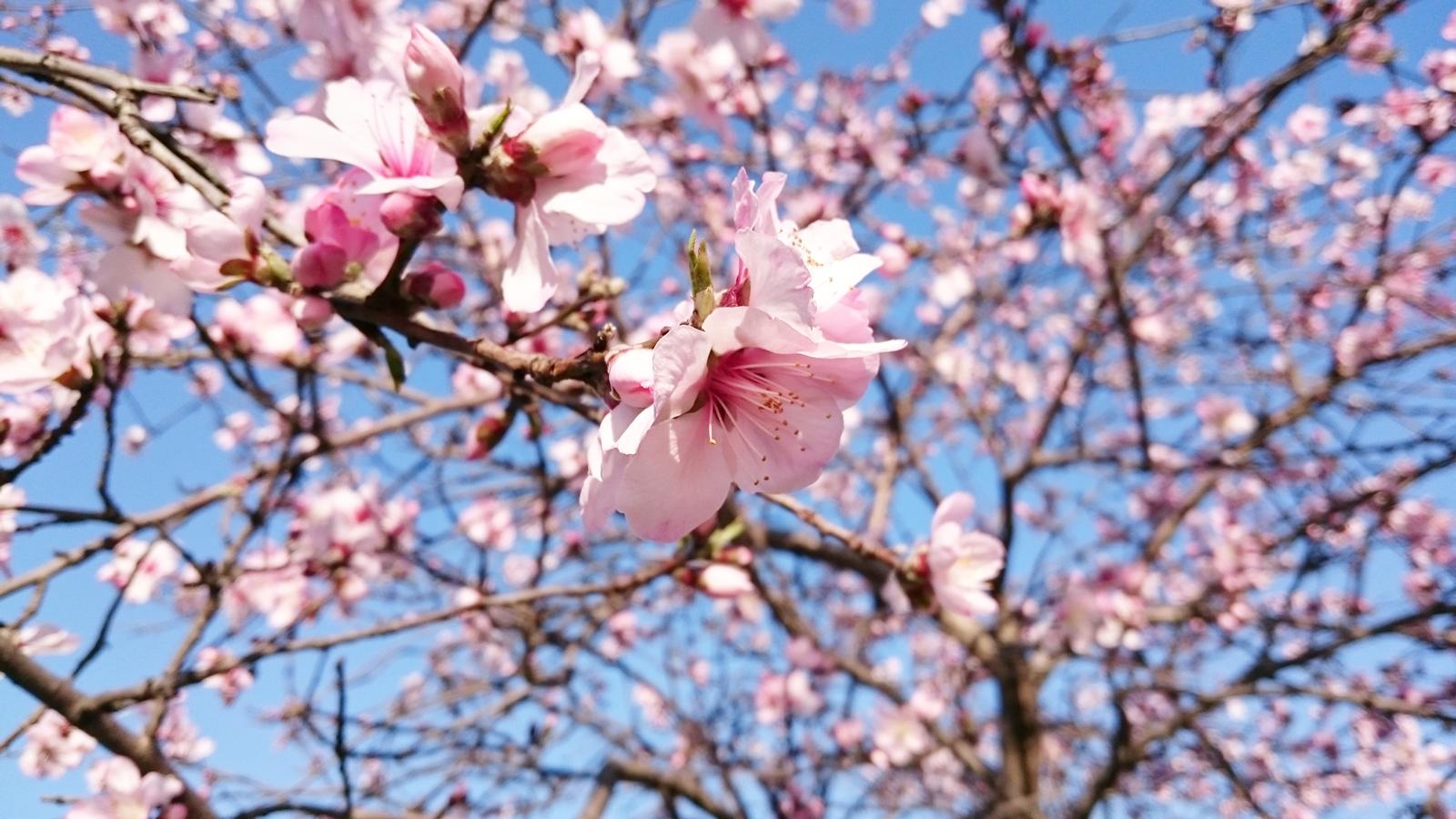 Sudah Siap Berangkat Ke Jepan Musim Bunga Sakura Datang Segera