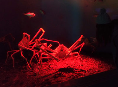 Giant crab you can find at Hakkeijima Sea Paradise